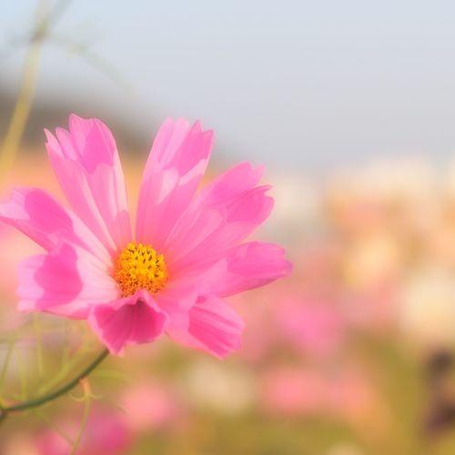 シーシェル コスモス Cosmos Flower Collection EyeEmFlower Eyeembestshotsflowers Hello World Taking Photo Good Morning