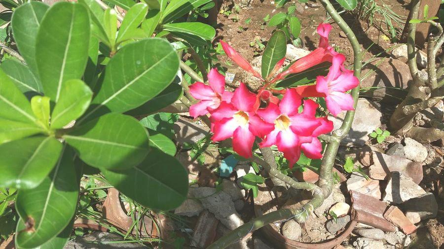 Love, pink flower.