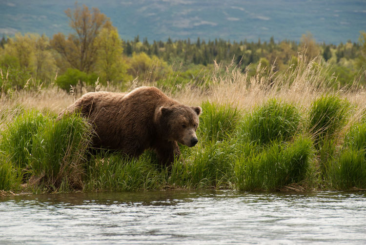 Brown bear in front of river at katmai national park