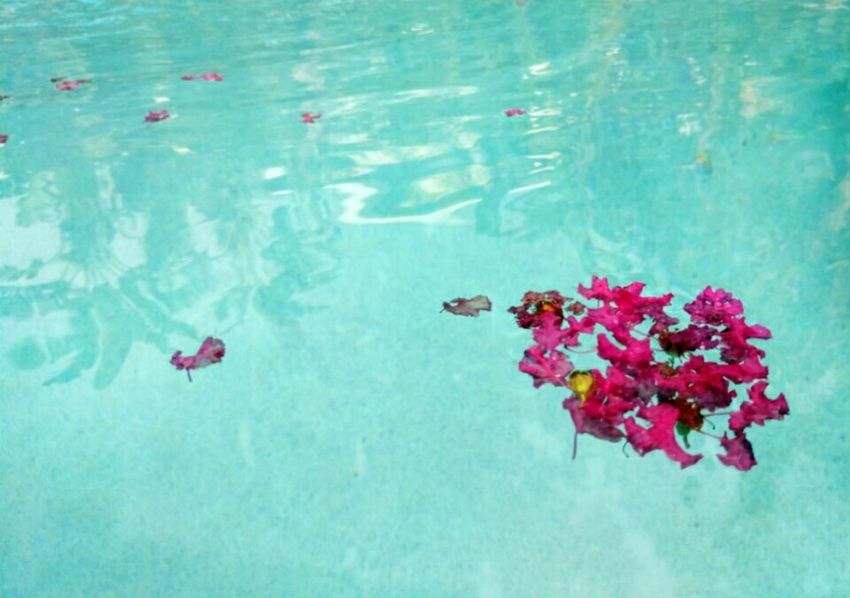 Water Flowers Floating Floating On Water Flowers Floating In Water Flowers Floating In The Water Petals Flower Petals Float Floating Flowers Pink Pink Flowers Pool Float On Float On The Water Post Rainstorm Background Backgrounds Perspectives On Nature