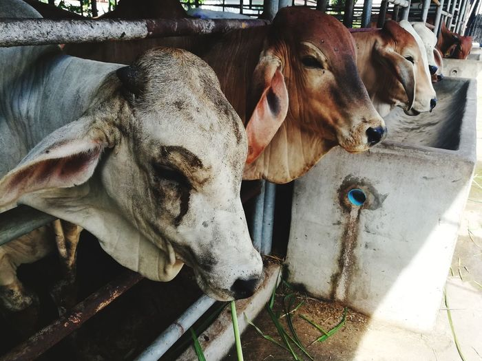 Cows Domestic Animals Animal Themes No People Close-up Cows Animals In The Wild Animal Photography Animal_collection Eyeemthailand Huaweiphotography EyeEm Gallery Huawei Collection