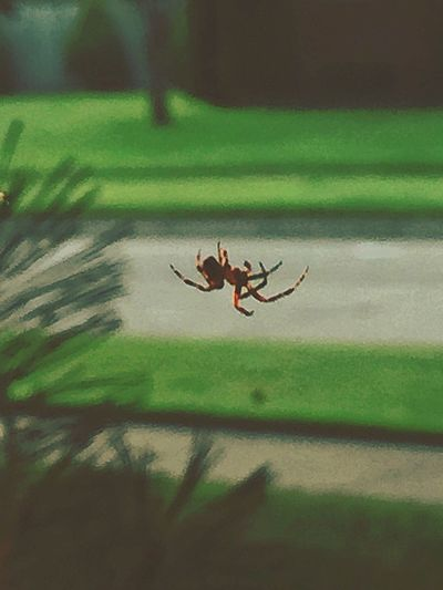 ...Why Did the spider cross the road? Lol The Magic Mission Invisible Web Spider Spiderweb Spider Crossing Mid-air No People Surface Level Focus On Foreground Background Defocus Backgrounddefocus Green Grass Shrub Pineneedles Pine Outdoor Photography Summertime Streetphotography Insect Crawling Spider Web EyeEm Nature Lover EyeEm Best Shots
