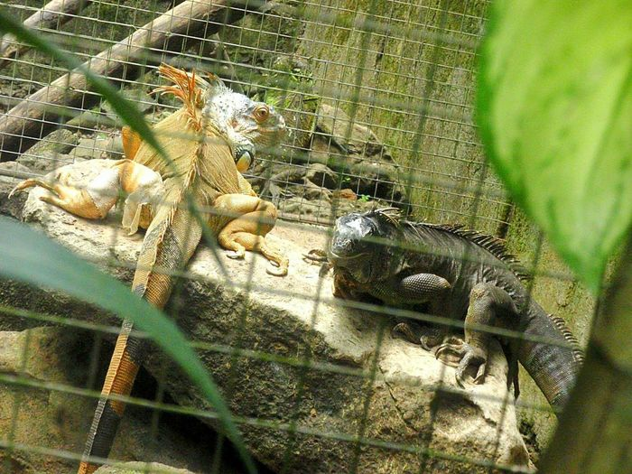 High angle view of iguanas seen through fence
