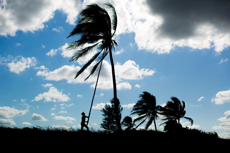 Silhouette Of Man Harvesting Coconuts Against Cloudy Sky
