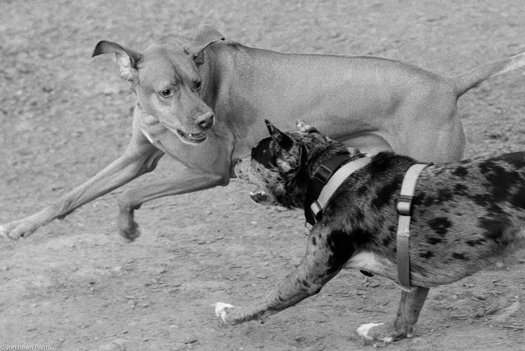 Side View Of Fighting Dogs