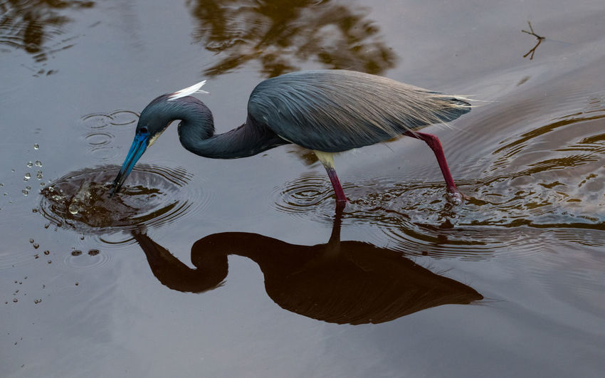 Apr 2019 - Tri-color Heron (Egretta tricolor) Commonly seen fishing along brackish coastal waters, the Tricolored Heron can be found up the Atlantic coast to Massachusetts. It is a medium- sized bird with a dark blue or purple upper body, a chestnut- colored chest, and white markings on its neck and back. It has a yellow or white chest when breeding. It typically hunts along mangroves and oyster bars, using its long, slender bill to pluck small fish from the water. Animal Wildlife Water Bird Animals In The Wild Reflection Animal Animal Themes One Animal Lake No People Wading Animal Neck Nature Outdoors Water Bird Waterfront Day Wading Birds Florida Birds