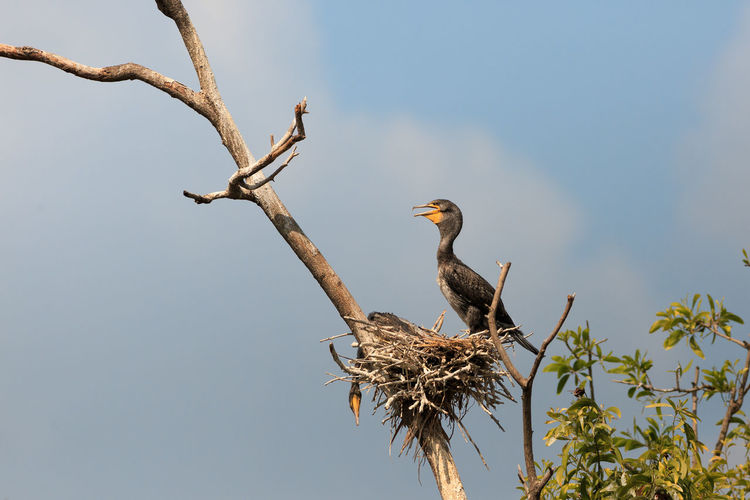 Low Angle View Of Cormorant Perching On Nest