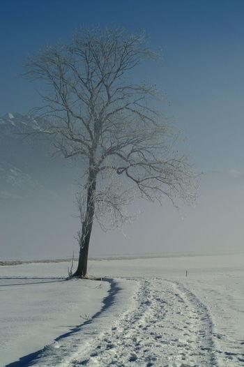 Schweiz Switzerland Wallis Leuk Baum Tree Nebel Foggy Morning Spuren Im Schnee Tracks In Snow Blue Sky Blauer Himmel Schnee Snow