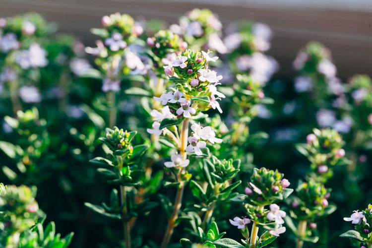 Closeup of blooming thyme herbs Aromatic Plants Cooking Herb Herbs Aromatic Aromatic Herb Beauty In Nature Blooming Close-up Flower Flower Head Flowering Plant Freshness Garden Growth Ingredient Leaf Nature Organic Outdoors Plant Plant Part Thyme