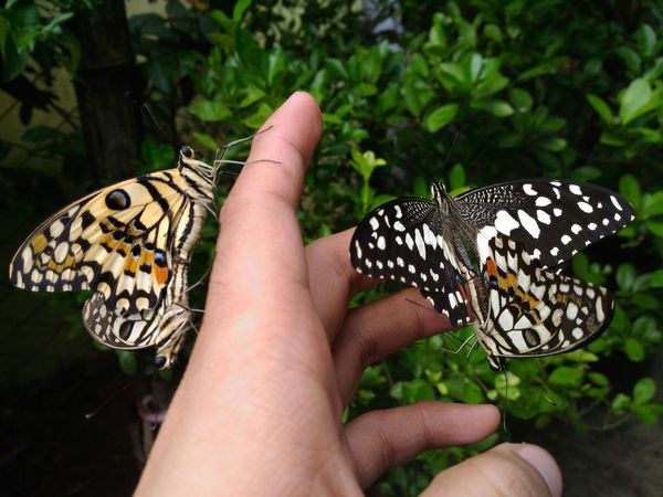 Mating Butterflies in my hand ~ EyeEmNewHere Mating Pair Of Butterfly Animal Wildlife Butterflies Animals In The Wild Insects  First Eyeem Photo Eyeemphotography Eyeemphoto Nature Beauty In Nature Outdoors No Filter, No Edit, Just Photography EyeEm Best Shots EyeEm Nature Lover EyeEm Best Shots - Nature DonaldNoolPhotography Fresh On Eyeem  The Great Outdoors - 2017 EyeEm Awards