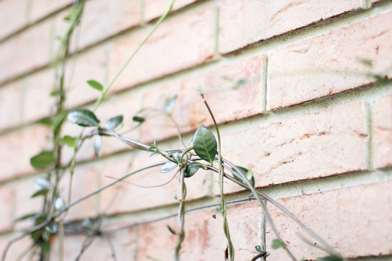Ivy on a brick wall Vine Green Jasmine Ivy One Animal Invertebrate Insect Animal Themes No People Day Brick Brick Wall Outdoors Focus On Foreground Nature Plant Part Built Structure Architecture