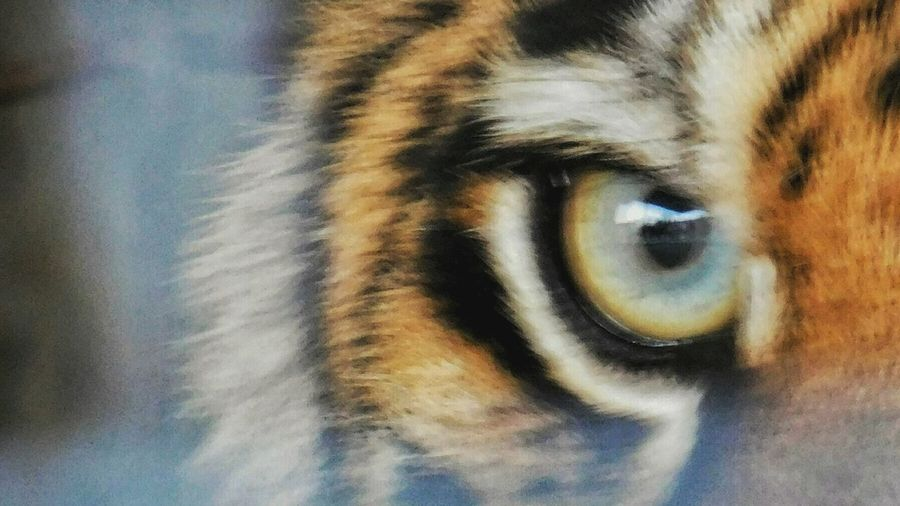 One Animal Close-up Portrait Looking At Camera Outdoors One Person Day Eyelash Adult Eyesight People Animal Themes One Man Only Adults Only Nature Eyeball Only Men Nikonl840 Tigereyes Tiger Blurred Background Motion Cat Light And Shadow Tranquil Scene
