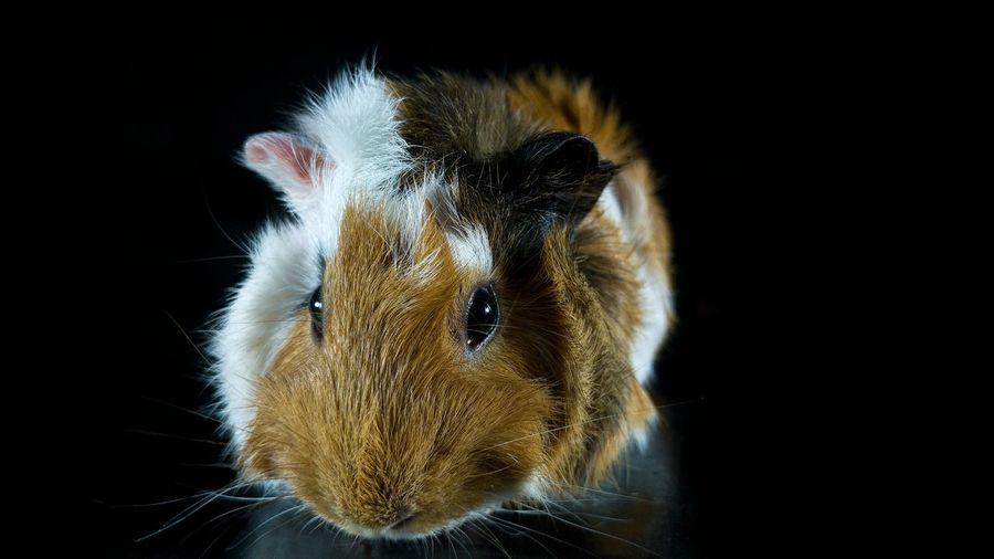 Close-up portrait of hamster against black background