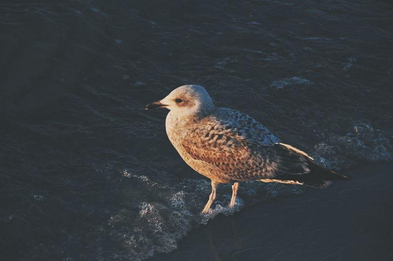 Seagull Sea Nature Water Birds Bird Animal