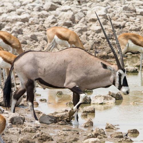Oryx at water hole