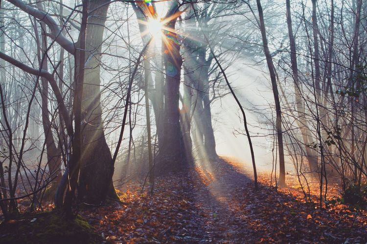 Tree Sunbeam Nature Lens Flare Tranquil Scene Tranquility Sunlight Autumn Sun Scenics Tree Trunk Landscape No People Bare Tree Beauty In Nature Forest Outdoors Branch Day Fog Shades Of Winter