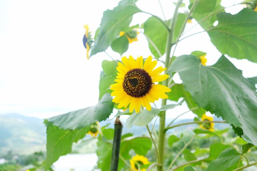 Sirao Flower Farm Cebu Philippines ... Flower Beauty In Nature Nature Fragility Freshness Growth Flower Head Petal Plant Leaf Blooming No People Outdoors Day Close-up Sunflower Sky