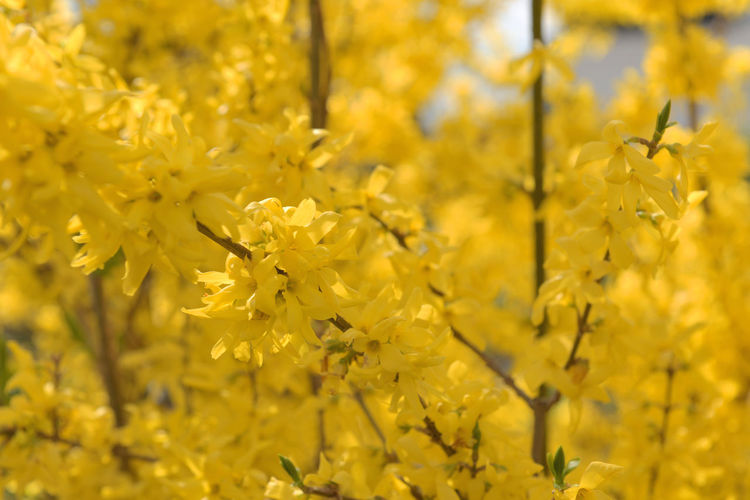 Abundance Backgrounds Beauty In Nature Blooming Blossom Close-up Field Flower Focus On Foreground Forsythia Fragility Freshness Full Frame Growth In Bloom Nature Petal Plant Season  Selective Focus Spring Yellow Yellow Background Yellow Patterns