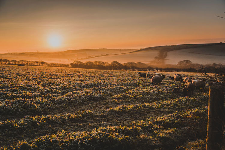 Sky Landscape Sunset Land Environment Scenics - Nature Field Nature Sunlight Beauty In Nature Sun Mammal Livestock Tranquil Scene Agriculture Domestic Rural Scene Group Of Animals Animal No People Outdoors Lens Flare