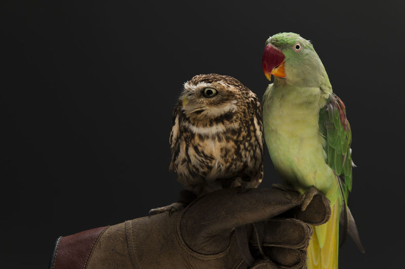 Cropped image hand holding parrots and owl against black background