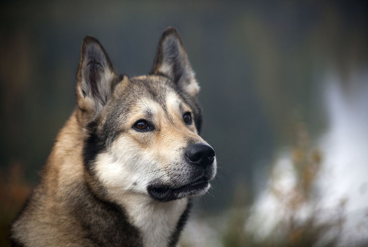 Laika Lapland Sweden Animal Themes Bear Hunting Bearhound Bearhunting Day Dog Doghunting Domestic Animals Elkhound Hunting Hunting With Dog Mammal No People Norrbotten Norrland One Animal Outdoors Pets