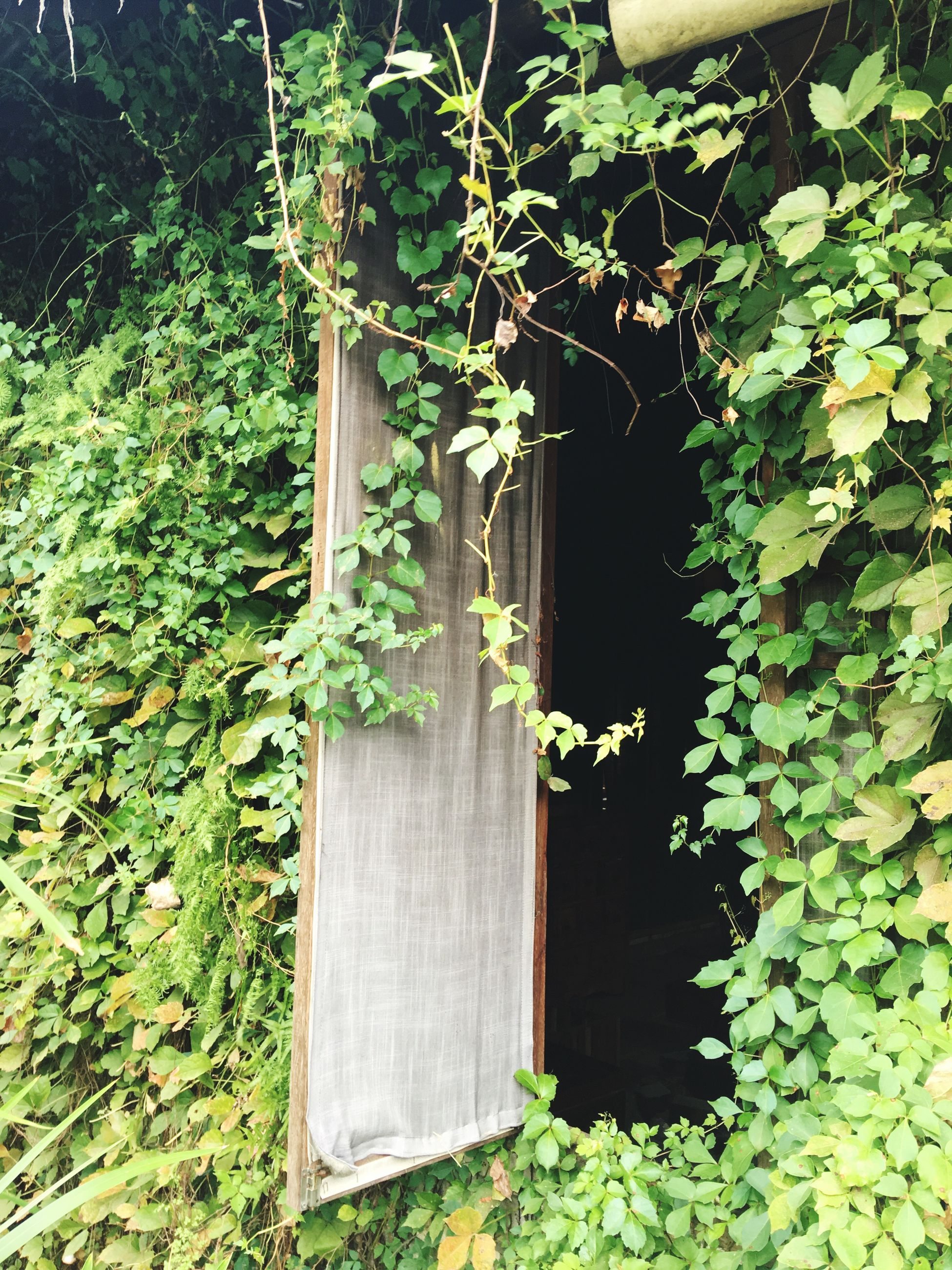 growth, plant, leaf, ivy, architecture, creeper plant, green color, nature, vine, creeper, day, freshness, outdoors, lush foliage, growing, green, beauty in nature, flowering, fragility, tranquility, scenics, no people, plant life