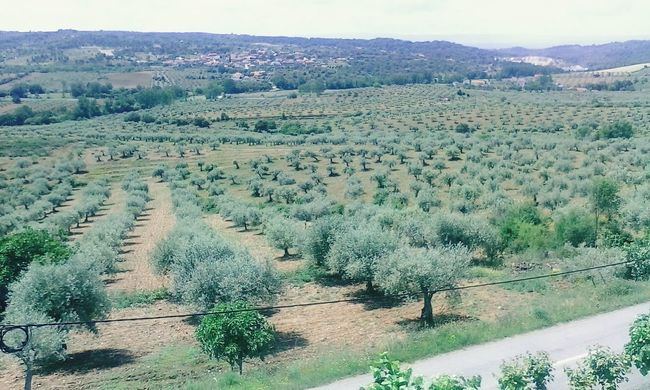 Olive Trees Close-up Clear Sky Outdoors Springtime Green Color Agriculture Landscape Rural Scene Beauty In Nature TeresaMorais