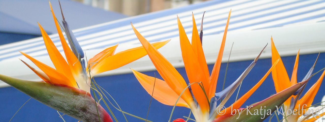 flower, nature, beauty in nature, freshness, close-up, outdoors, no people, growth, day, fragility, petal, plant, bird of paradise - plant, flower head