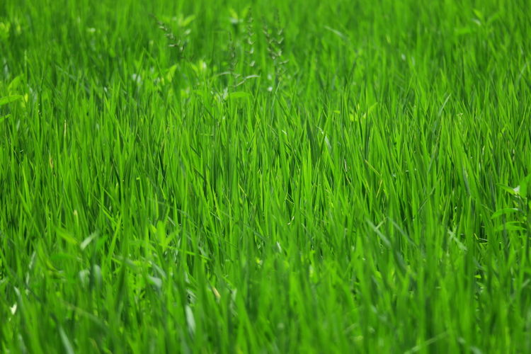 Nature green rice field closeup texture background Natural Beauty Agriculture Background Backgrounds Beauty In Nature Close-up Closeup Day Field Food Freshness Full Frame Grass Green Color Green Rice Field Growth Meadow Nature Nature_collection No People Outdoors Plant Rice Field Rice Paddy Rice Texture