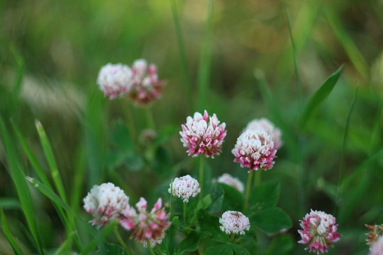 Clover Flowers Flower Nature Nofilter Noedit