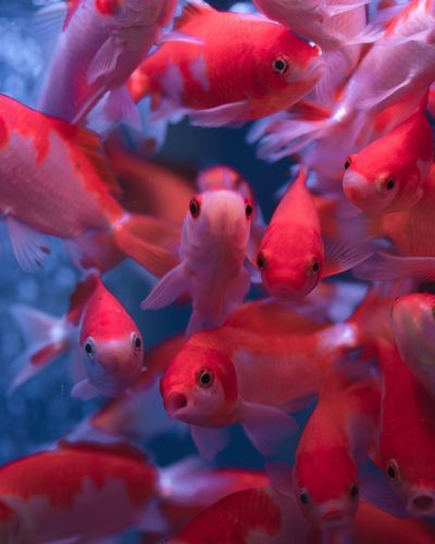 Underwater Animal Wildlife Red UnderSea Large Group Of Animals Animals In The Wild Animal Themes Water Close-up Swimming EyeEm Selects Outdoors Nature Beauty In Nature Blue Fish Goldfish Tank Aquarium Aquarium Life Aquatic Aqua Aquarium Fish No People Indoors  Neon Life Pet Portraits