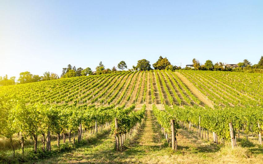 Vineyard against clear sky