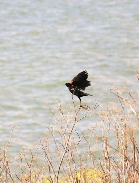 My Favorite Photo Red Winged Black Bird EyeEm Gallery Taking Photos Check This Out Birds Bird Photography EyeEm Nature Lover