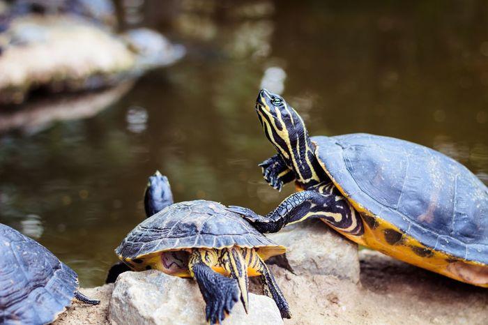 Pushing turtle Reptile Animal Themes Animal Wildlife Animal Turtle Animals In The Wild Vertebrate One Animal Water Lake Tortoise Nature No People Shell Animal Shell Amphibian Outdoors Marine Tortoise Shell