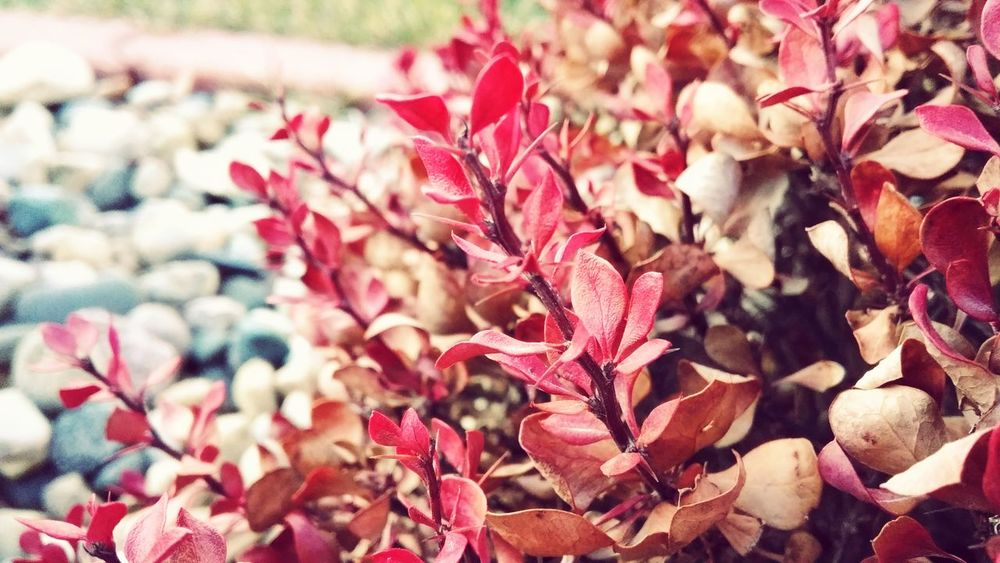 Pink Color Nature Flower Red Plant Backgrounds No People Day Close-up Outdoors Growth Beauty In Nature Fragility Flower Head Freshness