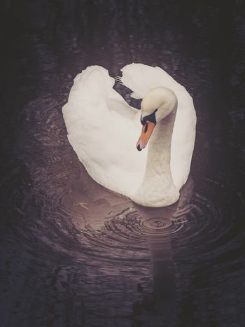Swan. Leeds and Liverpool canal, Riddlesden. Swan Bird Water Landscape Nature Outdoors Photography Landscape_Collection Landscape_photography Nature_collection Nature Photography Naturelover Outdoor Photography