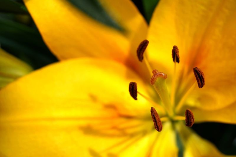 Flower Fragility Flower Head Freshness Beauty In Nature Growth Nature Selective Focus Yellow Stamen Pollen Botany Close-up Plant Springtime Blossom No People Day Lily
