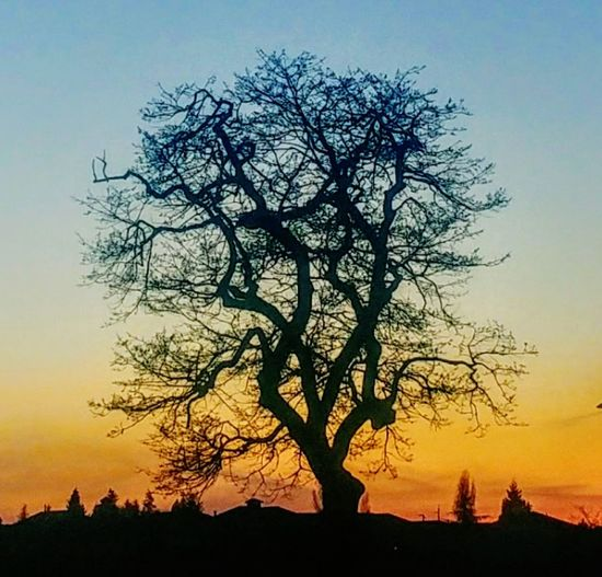 Tree Silhouette Sunset Beauty In Nature Ethereal Bare Tree Nature Landscape Autumn Tree Trunk Sky Scenics Moon No People Outdoors Day The Great Outdoors - 2017 EyeEm Awards Dramatic Sky Colorful Sunset Gold Colored Night Golden Hour Garry Oak Tree In Silhouette Fog