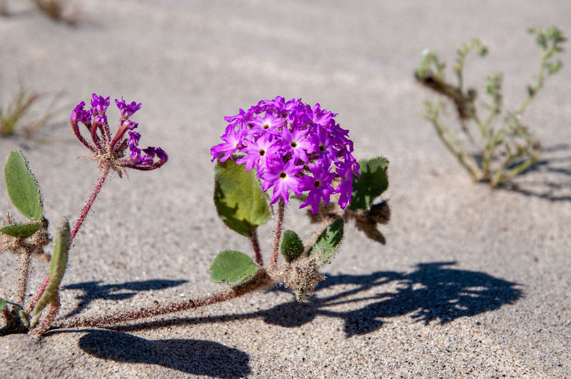 Anza Borrego Desert Flowers Flower Flowering Plant Plant Beauty In Nature Freshness Nature Vulnerability  Fragility Purple No People Sunlight Close-up Growth Focus On Foreground Botany Shadow Day Land Outdoors Inflorescence Flower Head Springtime Anza Borrego