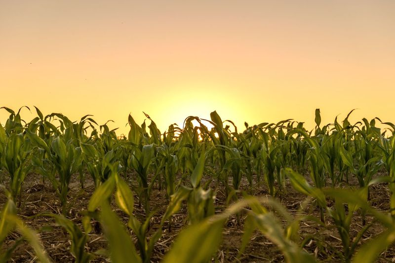 Growth Field Agriculture Sunset Rural Scene Crop  Tranquil Scene Beauty In Nature Plant Nature Clear Sky Farm Close-up Green Color Tranquility Scenics Green Orange Color Outdoors Cultivated Land