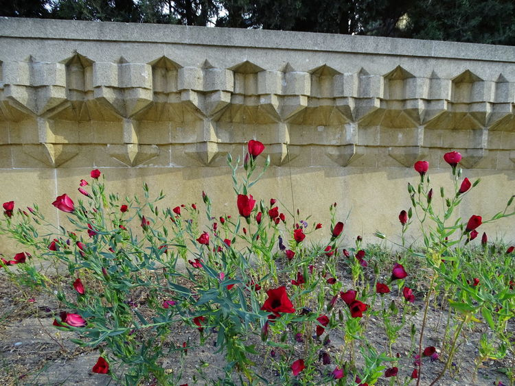 Flower Poppy Red Plant
