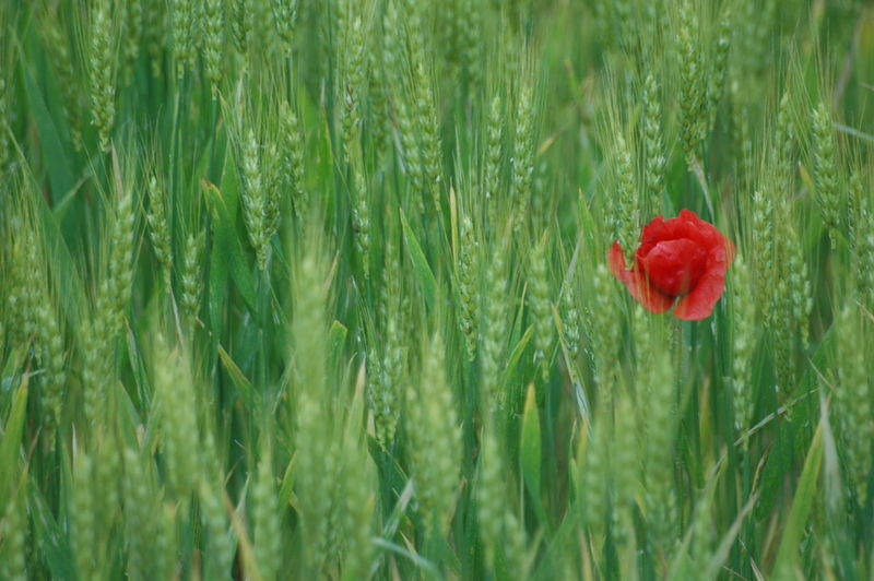 Poppy Red Rural