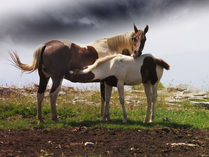 Horses Animal Family Animal Themes Cloud - Sky Day Domestic Animals Field Group Of Animals Horse Land Livestock Nature No People Nursing Horse Outdoors Standing Two Animals