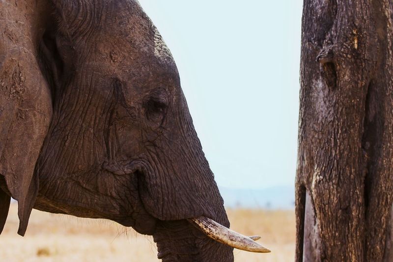 Close-up of elephant by tree trunk