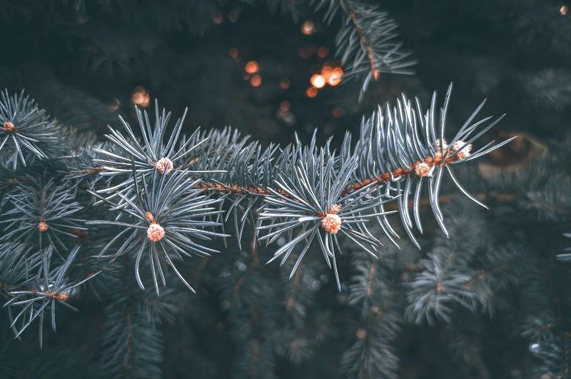 Blue spruce, winter, russia. christmas mood