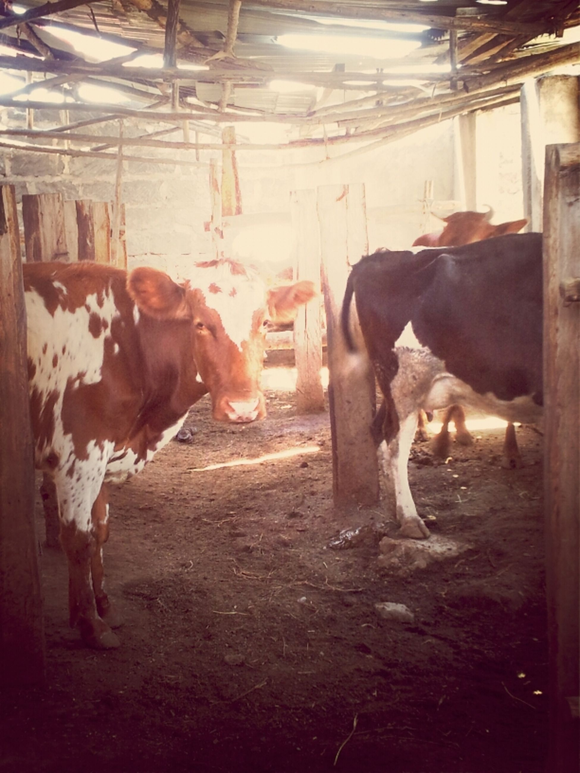 animal themes, domestic animals, livestock, mammal, horse, herbivorous, two animals, cow, standing, working animal, domestic cattle, medium group of animals, field, togetherness, three animals, zoology, cattle, sunlight, day, animal pen