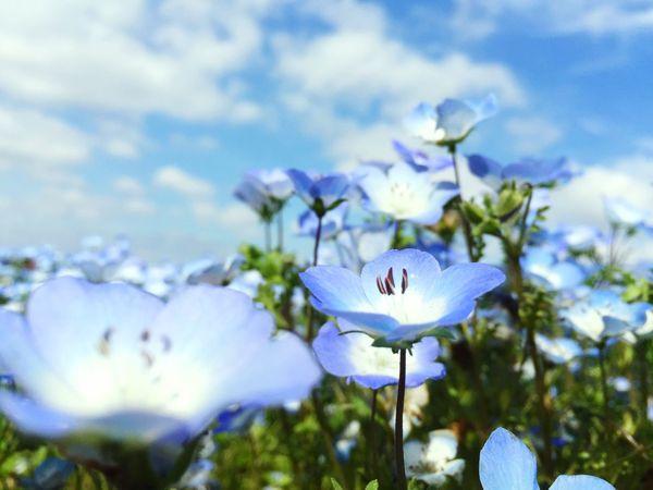 ひたち海浜公園 ネモフィラ ほんと綺麗 Flower No People Nemophila Japanese  Park Flower Head Flower Photography Flowers Flower Collection