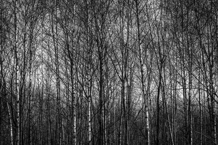 Bare trees Tree Bare Tree Plant Forest No People Tranquility Nature Full Frame WoodLand Backgrounds Branch Beauty In Nature Trunk Tree Trunk Outdoors Scenics - Nature Day Growth Low Angle View Tree Canopy  Blackandwhite