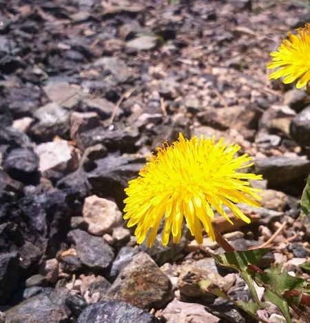Beautifull springg! 🌻🌞Sunflower Yellowbyme Mobilephotography Springtime Relaxing EyeEmSerbia Alexandracubrak Lemon By Motorola
