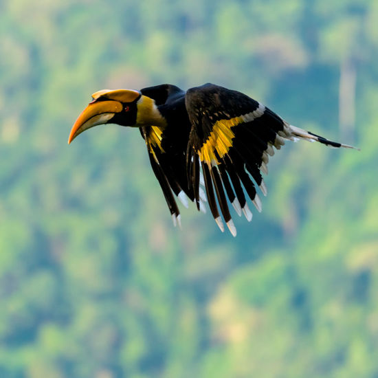 Close-up of great hornbill flying against blurred background